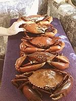 Lucinda crabs